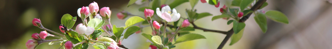 Quoia narrow header flowering branch crabapple