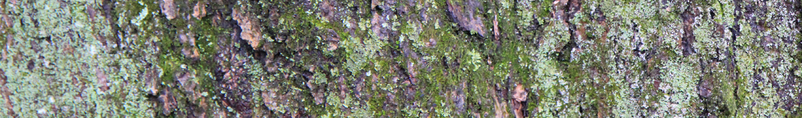 Quoia narrow header bark